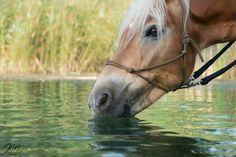 Haflinger am Wasser🐴📷🏞 Get In The Mood, Jasmine, Horses, Animals, Water, Animales, Animaux, Animal, Animais