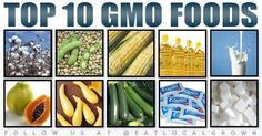 Genetically Modified Organisms (referred to as GM or GMO) are found in up to 80% of the food sold in American supermarkets. Soy, Canola oil, corn, cotton, milk, sugar, aspartame, zucchini, yellow squash and papaya