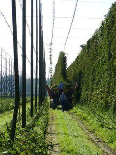 Hop picking, Poperinge