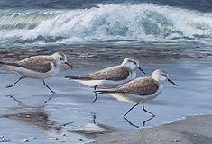 sandpiper art at the beach | Birds of a Feather