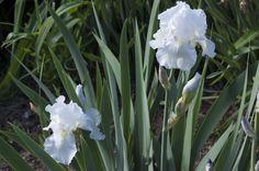 White iris (german
