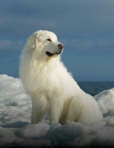 This Great Pyrenees is looking magnificent on a beautiful snowy day! #snow #dog