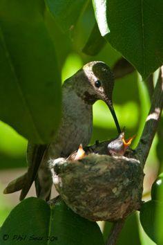 ˚Anna's Hummingbird feeding chicks at nest