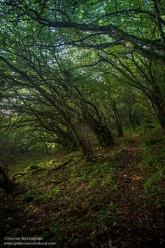 An Irish woodland, is there anywhere more magical?