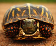 I have seen numerous suggestions for Russian tortoise diet Some great Some awful. Russian Tortoises are nibblers and appreciate broad leaf plants. Pictures Of Turtles, Kawaii Turtle, Eastern Box Turtle, Turtle Soup, Turtle Time, Russian Tortoise, Tortoise Turtle, Baby Turtles, Sea Turtles