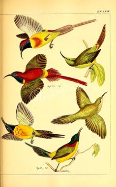 037-cinnyris ignicauda, cinnyris nepalensis      ...