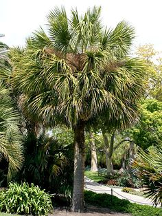 Perfect for Californians! Palm Tree Care Pick the perfect palm tree for your yard and use our guide to ensure success after planting. Florida Landscaping, Florida Gardening, Tropical Landscaping, Tropical Garden, Tropical Plants, Southern Landscaping, Palm Plants, Florida Plants, Landscaping Tips