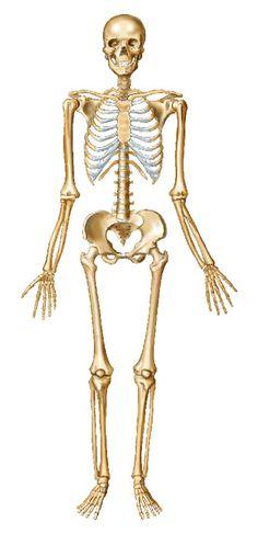 Anterior Skeleton