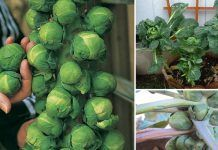 Growing Brussels Sprouts In Containers | How To Grow Brussels Sprout In A Pot