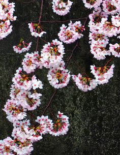 2015/04/01 雨上がりの桜