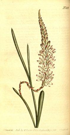 v.15-16 (1801-1803) - Curtis's botanical magazine. - Biodiversity Heritage Library