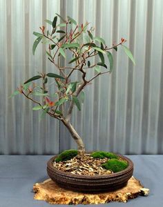 """In Japanese: """"Misho"""" - Growing Bonsai from tree seeds."""