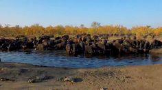 Large herd of buffalo PM safari National Geographic Wild, African Safari, Buffalo, Live, Water Buffalo