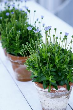 Outdoor table centrepiece - three terracotta pots with simple flowers Garden Planters, Herb Garden, Blue Garden, Container Plants, Container Gardening, Pot Jardin, Simple Flowers, Blue Flowers, Blooming Flowers