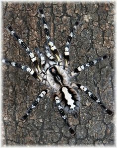 Poecilotheria regalis. A more poisonous species of tarantula, but oh so pretty.