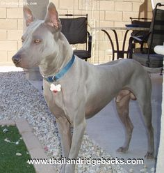 Thai Ridgeback- only vague similarity to Rhodesian is the ridge (obviously) and the face