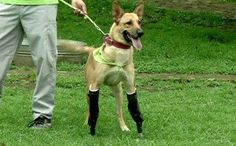 How cool is this bionic war vet dog!