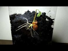 Germination of a Seed. This time lapse video shows how a seed germinates over time. The video clearly shows the roots developing and then the shoot. The time. Growing Seeds, Growing Plants, Garden Seeds, Garden Plants, Plant Lessons, Runner Beans, Bean Seeds, Seed Germination, Plant Science