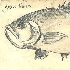 Drawing of Fishes of Maranhao Brazil Natural History by carambas, $16.00