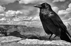10 Fascinating Facts About Ravens. The Viking god, Odin, had two ravens, Hugin (thought) and Munin (memory), which flew around the world every day and reported back to Odin every night about what they saw.