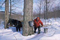 """Maple Syrup collecting -- Maine......we used to """"tap"""" the maple trees on the farm, and drink the maple juice!  Our Daddy would cut out little pockets in the tree, and we used bamboo canes  as straws.  Wow! I had forgotten about that till I saw this picture!"""
