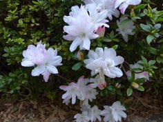 Flowering Shrubs, Botanical Gardens, Japanese, Flowers, Plants, Flowering Bushes, Japanese Language, Plant, Royal Icing Flowers