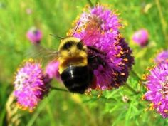Bumblebee Once Flourished In New Jersey, Now Its Endangered - Montclair, NJ
