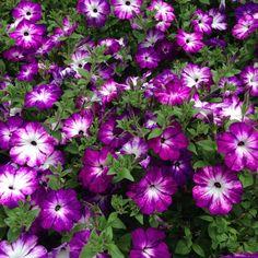 American Garden Award 2014 entry Petunia Sanguna Radiant Blue in the Longwood Gardens AGA Display.  www.americangardenaward.org