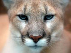 Puma ou suçuarana - Puma concolor, anteriormente Felis concolor, é um felino conhecido pelos nomes populares suçuarana, puma, onça-parda, onça-vermelha, jaguaruna, leão-baio e leão-da-montanha.  Nativo das Américas, esse hábil predador gosta de caçar com emboscadas. A subespécie suçuarana-norte-americana (Puma concolor couguar) engloba diversas populações remanescentes de suçuarana na América do Norte, onde o felino foi quase universalmente conhecido pelo nome de pantera.
