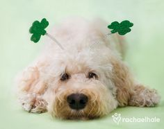 O'Rielly (Soft coated wheater terrier) - O'Rielly relaxes in clover, another St Paddy's day is almost over