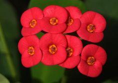 Euphorbia milli – Pompás kutyatej – Euphorbia fajták gondozása | Nőivilág.hu