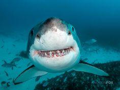 Happy shark do do dah doo dah doo Underwater Creatures, Ocean Creatures, Orcas, Save The Sharks, Happy Shark, Water Animals, Most Beautiful Animals, Great White Shark, Shark Week