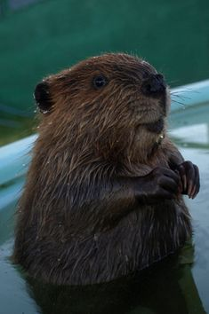 I'm sorry, did you think there could be a discussion you were involved in without a picture of a beaver? We forced this collection of rodents on you years ago, but you know you love it.