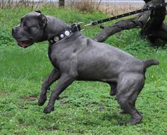 DDD Cane Corsos Cane Corso Italian Mastiff, Cane Corso Mastiff, Cane Corso Dog, Blue Cane Corso, Cane Corso Kennel, Mastiff Breeds, Best Dogs For Families, War Dogs, Large Dog Breeds
