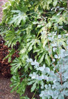 Fatsia japonica and Eucalyptus, Jan 21.http://www.mandycanudigit.co.uk/#!evergreen-shrubs/c18tl