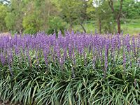 AMETHYST™ is a compact Liriope with dark green foliage that contrasts with it's stunning deep purple flowers
