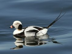 Long Tailed Duck (Male)