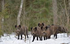 Photograph First days of spring... by Igor Shpilenok on 500px Wild boars in Bryansk Forest Nature Reserve, Russia