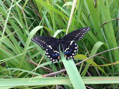 How to Raise Eastern Swallowtail Butterflies at Home | texasbutterflyranch