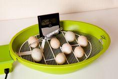 How to Incubate Chicken Eggs - http://modernfarmer.com/2015/04/how-to-incubate-chicken-eggs/?utm_source=PN&utm_medium=Pinterest&utm_campaign=SNAP%2Bfrom%2BModern+Farmer
