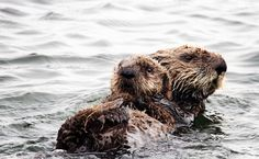 Newborn Sea Otter Reunited With Mom in Rare Rescue-THIS IS BEAUTIFUL