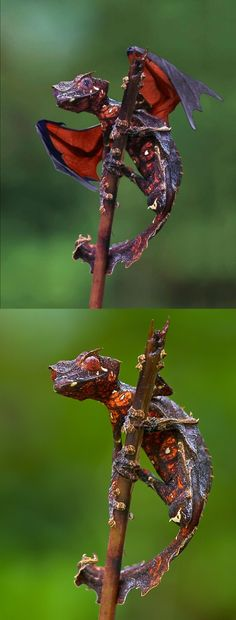 """Fake - """"Real baby dragon""""/""""Winged leaf tailed gecko"""", gecko with flying fox wings (Pteropus sp.) - Real image on the bottom - Baweng satanic leaf gecko (Uroplatus phantasticus)"""