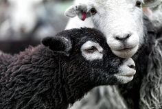 Baa Baa Black Sheep Herdwick sheep - - by photographer Ian Lawson, Herdwick: Via BBC