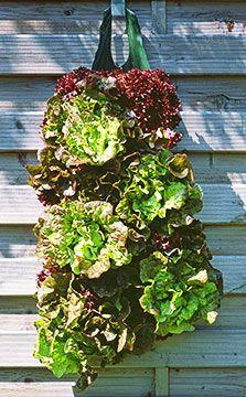 Salat braucht gar nicht so viel Platz - so einfach kann es sein, selbst frischen, knackigen Salat zu ernten.