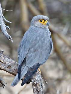Sooty Falcon (Falco concolor) found from Northeast Africa to the south Persian Gulf region.