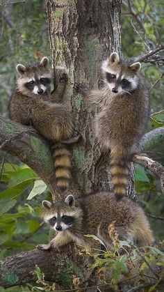 """A Raccoon Family: """"Triple Trouble! Forest Animals, Nature Animals, Woodland Animals, Animals And Pets, Strange Animals, Beautiful Creatures, Animals Beautiful, Cute Baby Animals, Funny Animals"""