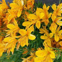 Amancay, Flor en Bariloche, Patagonia argentina www.tiempopatagonico.com