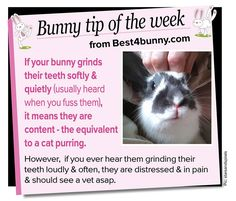 Bunny tip of the week - tooth grinding // I can feel the happy teeth grind when I'm petting Pongo!
