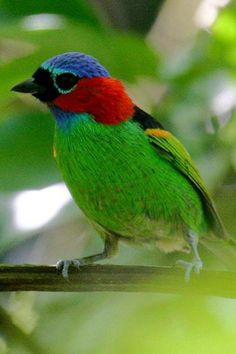 M79 Red-necked Tanager (Tangara cyanocephala), found in Argentina/ Brazil/ Paraguay