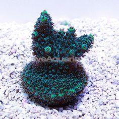 Green Planet Acropora Coral, Aquacultured ORA®
